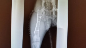 X Rays of Lucky Too's surgically repaired leg.