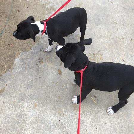 pit-bull-pups