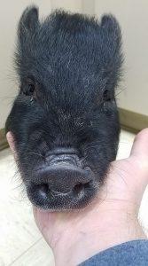bear-the-pig-2